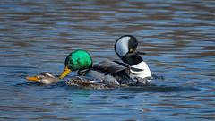 RollingInTheDeep (jmishefske) Tags: 2018 framepark spring foxriver nikon march river copulating water duck hooded mallard bird waukesha d850 merganser