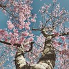 Springtime🌸 (NickL.123) Tags: filter sun pretty beautiful perspective bottom up pedal wood bestofflickr flickr brown green pink tree flower springtime spring