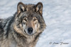 Timber Wolf (Anne Marie Fraser) Tags: animal wolf parcomega timberwolf