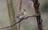 Tarin des Aulnes / Erlenzeisig (HJP68) Tags: un magnifique tarin des aulnes mâle