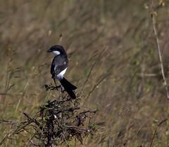 Shrike (liam.ragan) Tags: bird birds pajaro pajaros oiseau oiseaux kenya nairobi bush perch shrike wing