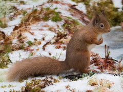 Cold Red Squirrel. (Sandy MacLennan) Tags: red squirrel redsquirrel sciurusvulgaris fourfingers fivetoes