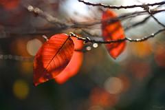紅葉  Red leaves (takapata) Tags: sony sel90m28g ilce7m2 macro nature leaves