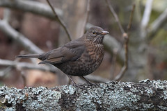Female Blackbird in my garden (David Verrall) Tags: blackbird femaleblackbird gardenbird gardenwildlife