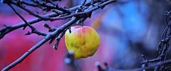 BITE ME, ACA PHOTO (alexanderrmarkovic) Tags: apple autumn acaphoto