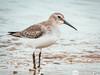 Dunlin (DUNL) (kevingilesbirds) Tags: dunlin shoreline birding lakeerie turkeypoint hennygiles shorebirds closeup southernontario photography entranceno8 canadageese kevingiles