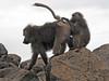 Baboon pose (David Bygott) Tags: africa tanzania natgeoexpeditions 171230 lake manyara lmnp baboon social behavior groom