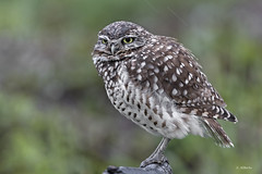 Burrowing Owl / Chevêche des terriers (shimmer5641) Tags: athenecunicularia burrowingowl chevêchedesterriers owl owlsfamily birdsofbritishcolumbia birdsofnorthamerica howdybirds