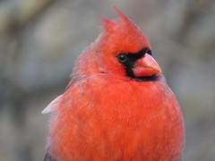IMG_0746b (Naturecamhd) Tags: canonpowershotsx60hs sx60hs newyorkbotanicalgarden nybg bronx thebronx nature wildlife birding botanicalgarden eco green wetlandstrail northerncardinal cardinal