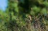 Fauvette à tête noire (JeanJoachim) Tags: fauvetteàtêtenoire sylviaatricapilla eurasianblackcap passeriformes sylviidae oiseau bird vogel aves uccello fågel fugl pássaro バード lintu птица ptak mönchsgrasmücke pentaxk10d smcpentaxf300mmf45edif