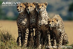 ARKive image GES113690 - Cheetah (loctran7812) Tags: ges113690 cheetah acinonyxjubatus arkive wwwarkiveorg mammals masaimarakenya anupshah natureplcom meetingswithothersofsamespecies survivaladaptations camouflage intraspecificbehaviours physicalappearance adult