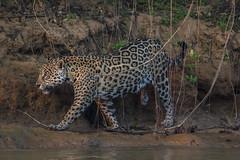 _S4I8573 (Samuel Maglione) Tags: pantheraonca brazil jaguar pantanal