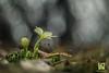 PRIMIZIE (Lace1952) Tags: fiori fioriture primule primavera primizie sottobosco sfocato bokek panasonicg microquattroterzi orestonmeyer50mmf1e8 ossola vco piemonte italia