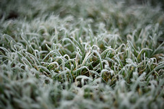 Frosty grass (STE) Tags: erba grass inverno winter fros frosty freddo cold helios verde green