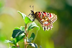 Zerynthia rumina (jotneb) Tags: natureza animais insectos vidaselvagem papilionidae primavera portugal escaroupim