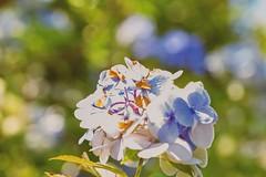 A Sunny Day (amarilloladi) Tags: flowers nature bokeh bokehlicious sunshine sunny 7dwf flower hydrangea macro flora