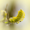 Catkin (microwyred) Tags: spring events season blossom severnvalleycountrypark leaf places greencolor botany backgrounds plant macro growth flower closeup freshness flowerhead outdoors nature yellow beautyinnature branch