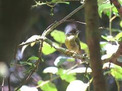 Tregellasia capito 2 (barryaceae) Tags: potoroo falls tapin tops national park nsw australia ausbird ausbirds tregellasia capito paleyellow robin