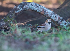 Hawfinch Gloucestershire 07-01-2018-0757 (seandarcy2) Tags: hawfinch finch woodland winter migrant gloucestershire uk grossbeak