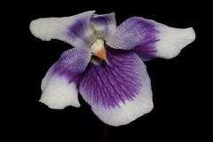 Viola hederacea (andreas lambrianides) Tags: violahederacea violaceae ivyleavedviolet australianflora australiannativeplants australianrainforests australianrainforestflowers arfflowers arfp qrfp nswrfp sarfp vicrfp tasrfp moistrainforest bluevioletflowers