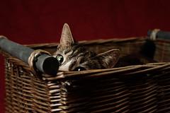 'Tiffin's Peek' (Jonathan Casey) Tags: basket wicker cat tabby eye nikon d810 sigma 50mm f14 art jonathan casey
