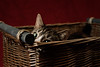'Tiffin's Peek' (Jonathan Casey) Tags: basket wicker cat tabby eye nikon d810 sigma 50mm f14 art jonathan casey