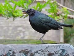 Wet Head (morroelsie) Tags: brewersblackbird blackbird morrobay morrobayharbor embarcadero centralcoast morroelsie