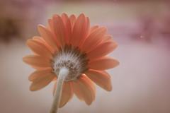 Sony a7 50mm (Jasrmcf) Tags: sonya7 sonyalphaa77 q7 a7 50mm 50mm18 ilce7 sel50f18f macro macros dof delicate detail depthoffield bokeh bokehgraph bokehlicious flower flowers nature ngc colourful colourartaward dreamy beautiful