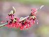 Hamamelis - toverhazelaar (Cajaflez) Tags: hamamelis toverhazelaar fleur bloem flower coth5