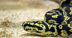 Python tacheté - Morelia pilota cheynei (jenny' pix) Tags: zoo animaux animals reptiles serpent snake morelia pilota cheynei python tacheté