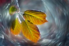 Winter (bresciano.carla) Tags: helios pentax helios442 winter leaf m42 oldlens bokeh swirlybokeh pentaxart