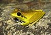Stony Creek Frog (Litoria wilcoxi) (Heleioporus) Tags: stony creek frog litoria wilcoxi einasleigh uplands queensland