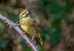 DSC9460  Cirl Bunting.. (jefflack Wildlife&Nature) Tags: cirlbunting buntings bunting birds avian animal animals wildlife wildbirds songbirds countryside coastalbirds brambles gorse nature ngc coth5 npc