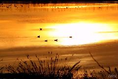 ___ su un lago dorato ___ (erman_53fotoclik) Tags: canon eos 500d lago dorato riflesso caldo oro profili uccelli pianta erba nuotare galleggiare tramonto sunset erman53fotoclik