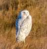 Salt Marsh Snowy (tresed47) Tags: 2018 201801jan 20180126newjerseybirds birds canon7d content ebforsythenwr folder january newjersey owl peterscamera petersphotos places season snowyowl takenby us winter ngc npc