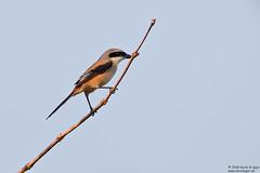 Long-tailed Shrike, Lanius schach (Kevin B Agar) Tags: birds goa india laniusschach longtailedshrike