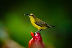 _D8A5418.jpg (Light Machinery) Tags: cinnyrisjugularis olivebackedsunbird