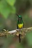 An Empress From Ecuador (Sharon's Nature) Tags: empressbrillianthummingbird heliodoxaimperatrix hummingbird ecuador cloudforest wildbirds colorful natgeo brilliant trochilidae aves canon