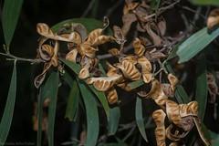 Southern Salwood (dustaway) Tags: australianplants mimosoideae mimosaceae acacia southernsalwood seedpods wattle canungra sequeensland queensland australia australianflora marginalarfp qrfp nswrfp dryarf arffs brownarffs pods phyllodes brushironbarkwattle brownsalwood