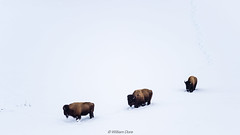 Bison Convoy (Images by William Dore) Tags: snow winter winterlandscape cold freezing wildlife animals bison yellowstone nationalpark nps nikon nikondf outdoors outside wyoming usa america 2018
