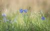 love is in the air... (Emma Varley) Tags: harebell wildflower meadow westsussex love whisper flower blue purple dreamy soft valentine throughherlens