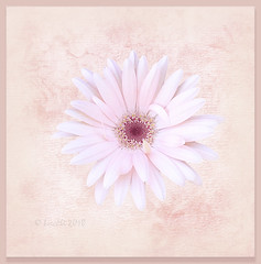 Simplicity is nature's first step, and the last of art. (Philip James Bailey) (boeckli) Tags: flowers flower flora fleur gerbera blume blumen blüten bloom blossom blossoms blooms rosa pink painterly pastel pastell photoborder textures texturen texture textur lynneanzelc philipjamesbailey nature simplicity natur garden garten plant pflanze
