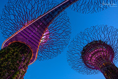 Supertree Grove (Ashley Wallace - Touchdown Aviation) Tags: garden tree design manmade travel flickr blue green pink lights colour lens fisheye wideangle nikon photography clouds sky night twilight supertreegrove gardensbythebay asia singapore