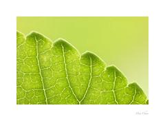 Serrated Leaf (Meu :-)) Tags: macromondays monochrome ulmusparviflora leaf green chineseelm abstract minimalism nature serratedleaf leafvenation cuticle epidermis veins