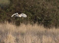 Bawdsey Owl (1stgc) Tags: 1stgc nikon suffolk bawdsey uk owl barn grass