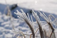 Epis givrés !! (thierrymazel) Tags: hiver gel givre cristaux profondeurdechamp pdc dof