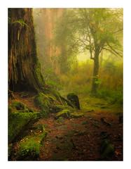Alishan Forest (jos.pannekoek) Tags: alishan forest woodland tree taiwan d500 landscape 1755 nikkor1755f28 mist foggy