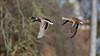 BIF of the day (2/2) : M and Mrs Duck (Franck Zumella) Tags: duck canard mallard colvert sky ciel oiseau bird flight voler lac lake animal wildlife nature bif fast rapide sony a7s a7 tamron 150600