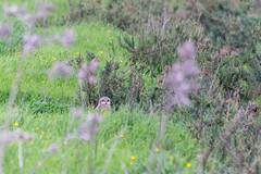 Coruja-do-nabal | Asio flammeus | Short-eared Owl (El1saB) Tags: asioflammeus corujadonabal meljb pontadaerva portugal shortearedowl strigidae strigiformes typicalowls aves birds