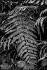 108_20171103_20_50z-B_fl - begleiten (gemischtersatz) Tags: greystones irland eire irl messsucher rangefinder leica zeiss sonnar csonnart1550zm sonnar50c15zm zm general csonnart1550 farn pflanze noireetblanc